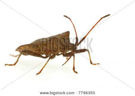 Stinkbug (picromerus Bidens)