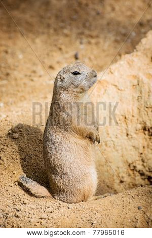 Groundhog Is Standing By The Pit And Watching Surroundings