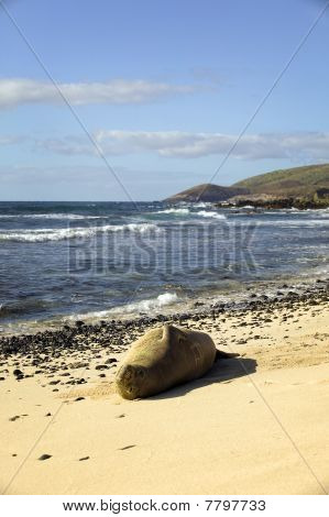 A solitary, endangered monk seal rests on a quiet beach outside of Honolulu on Oahu in the Hawaiian Islands. poster