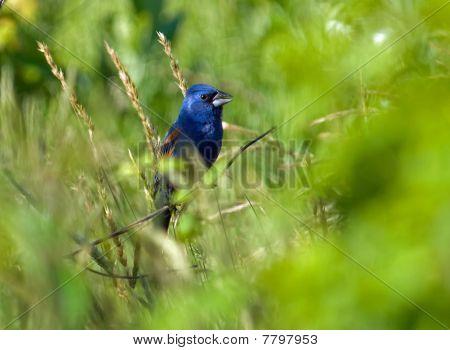 Blue Grosbeak In Habitat