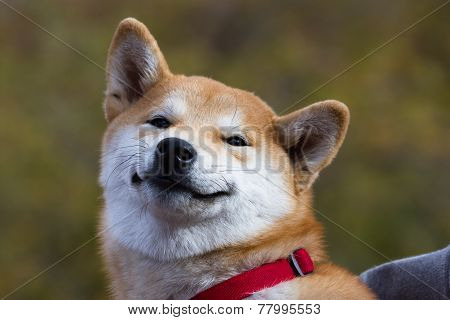 Cute Shilling Puppy