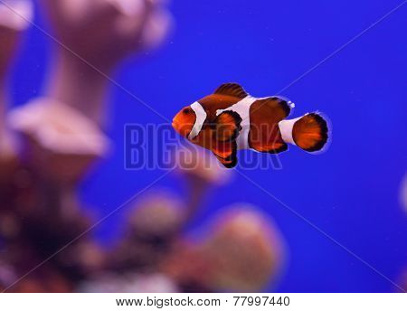 Clown Fish In Aquarium Water