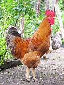 red rooster, cockerel on the farm yard poster