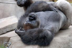Gorilla Playing