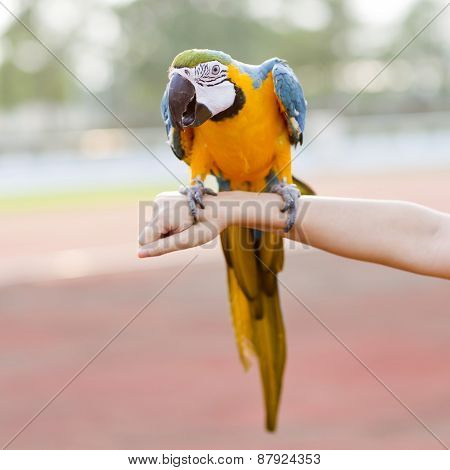 Blue-and-yellow Macaw (ara Ararauna), Also Known As The Blue-and-gold Macaw