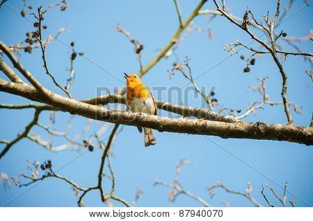 cute little robin bird singing