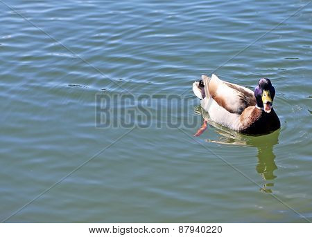 Duck That Swims In The Lake Water With Open Beak