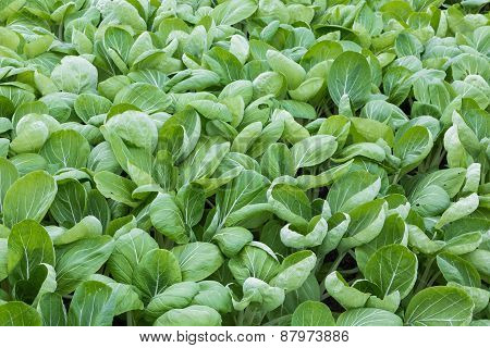 Dutch Greenhouse With Closeup Cultivated Vegetables (bok Choy Taisai)