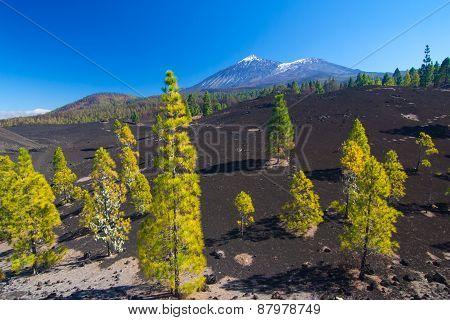 Pine Trees On The Lava Field, Pico Del Teide, Tenerife, Spain