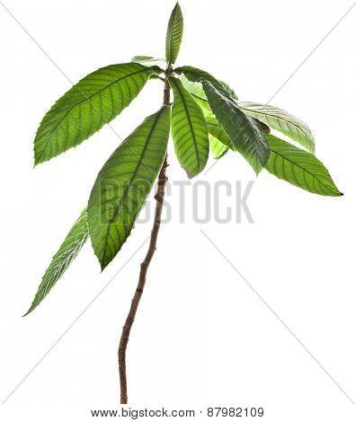 Loquat Medlar Tree isolated on a white background