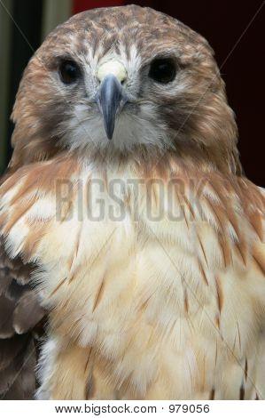 Strong Hawk