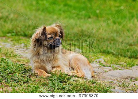 Portrait Of Pekingese Dog On A Grass