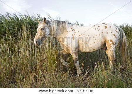 A beautiful appaloosa stallion horse walking through long reeds. poster