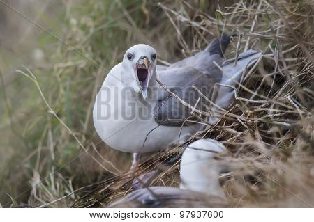 Fulmar Fulmarus glacialis squawking while sitting on a cliff edge