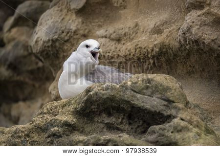 Fulmar Fulmarus glacialis on a cliff squawking