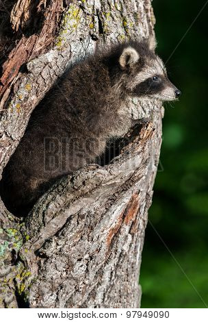 Young Raccoon (procyon Lotor) Blends In With Tree