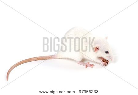 White Fancy Rat Eating Piece Of Bread