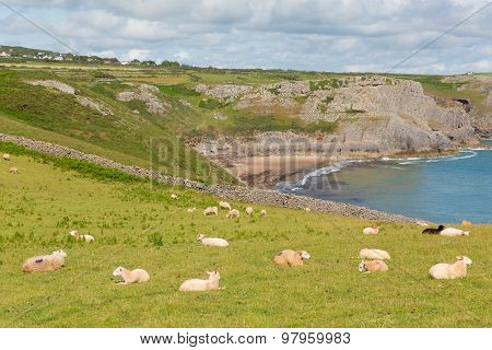Flock of sheep on a hillside at the coast Fall Bay The Gower peninsula South Wales UK near Rhossili