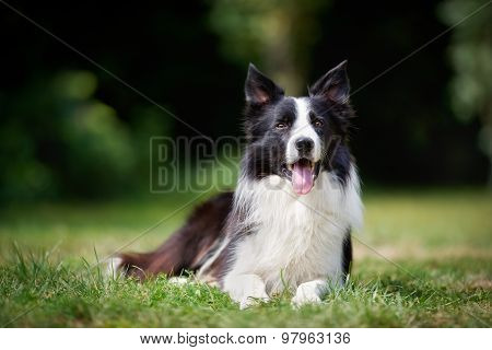 Border Collie Taking A Rest