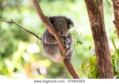 Sleeping Koala On Eucalyptus Tree, Sunlight