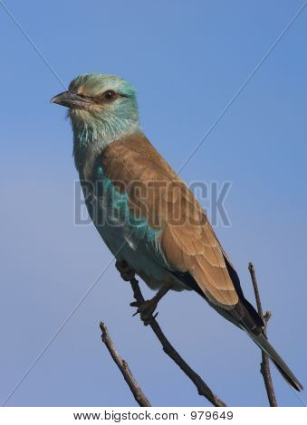 european roller - a common summer visitor to southern africa poster
