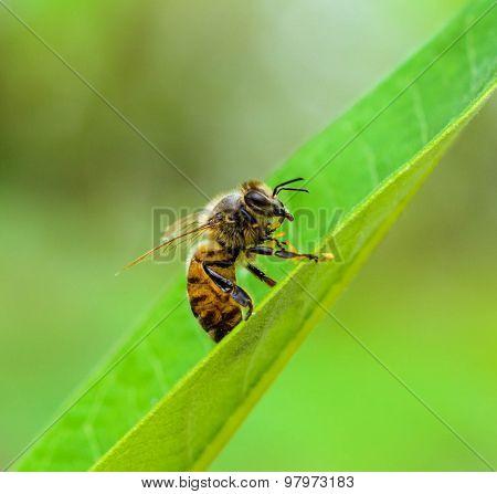 Honey bee cleaning feet.