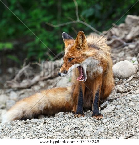 Beautiful Red Fox With Open Mouth