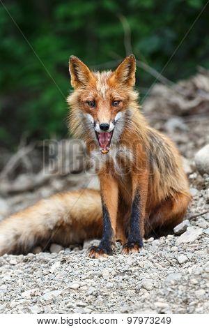Beautiful Red Fox Sitting On The Rocks