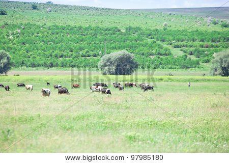 Flock of cows