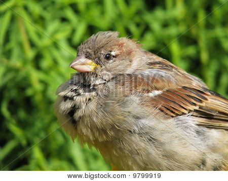 Dishevelled sparrow