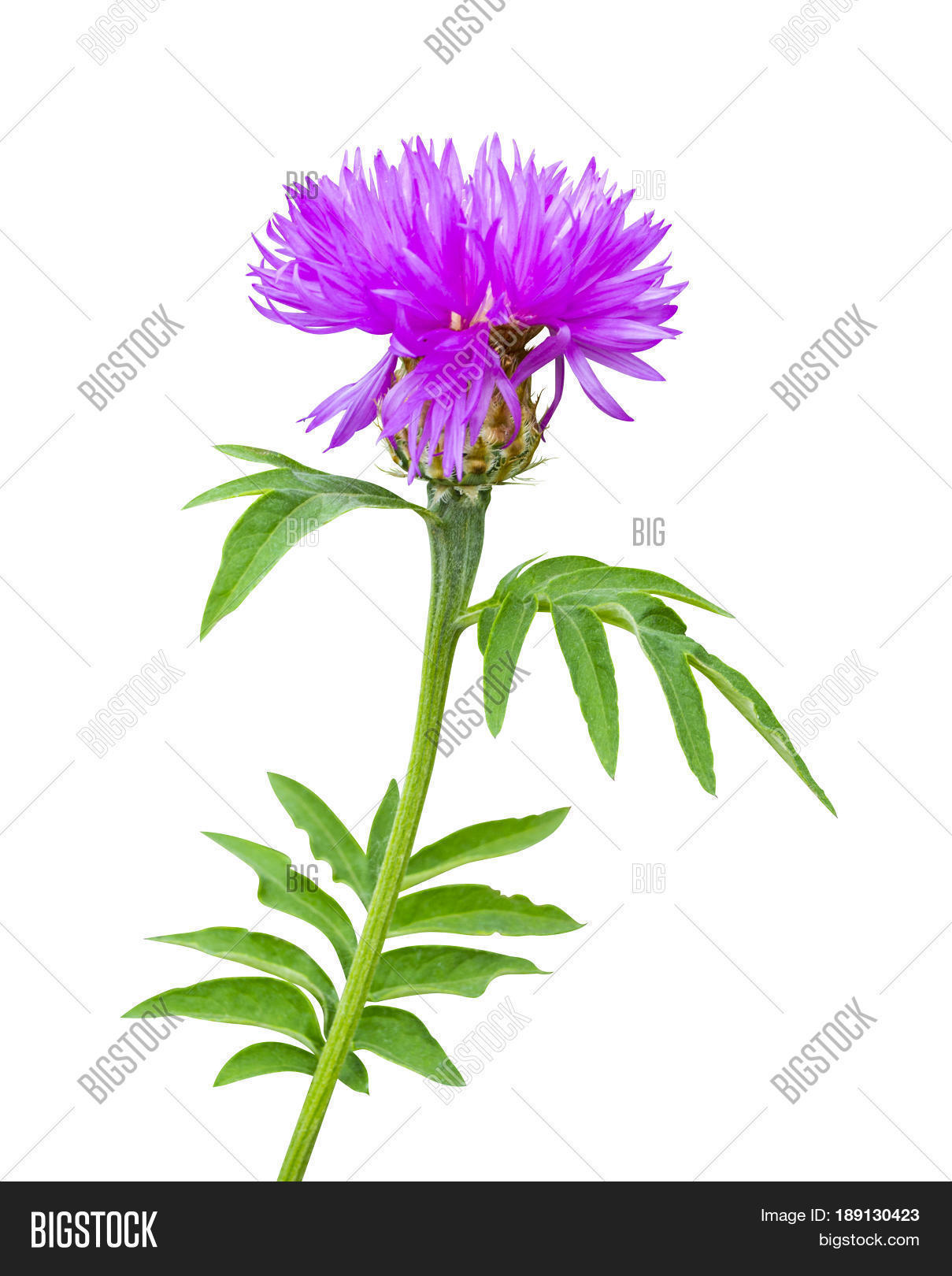 Milk Thistle Flower Image Photo Free Trial Bigstock