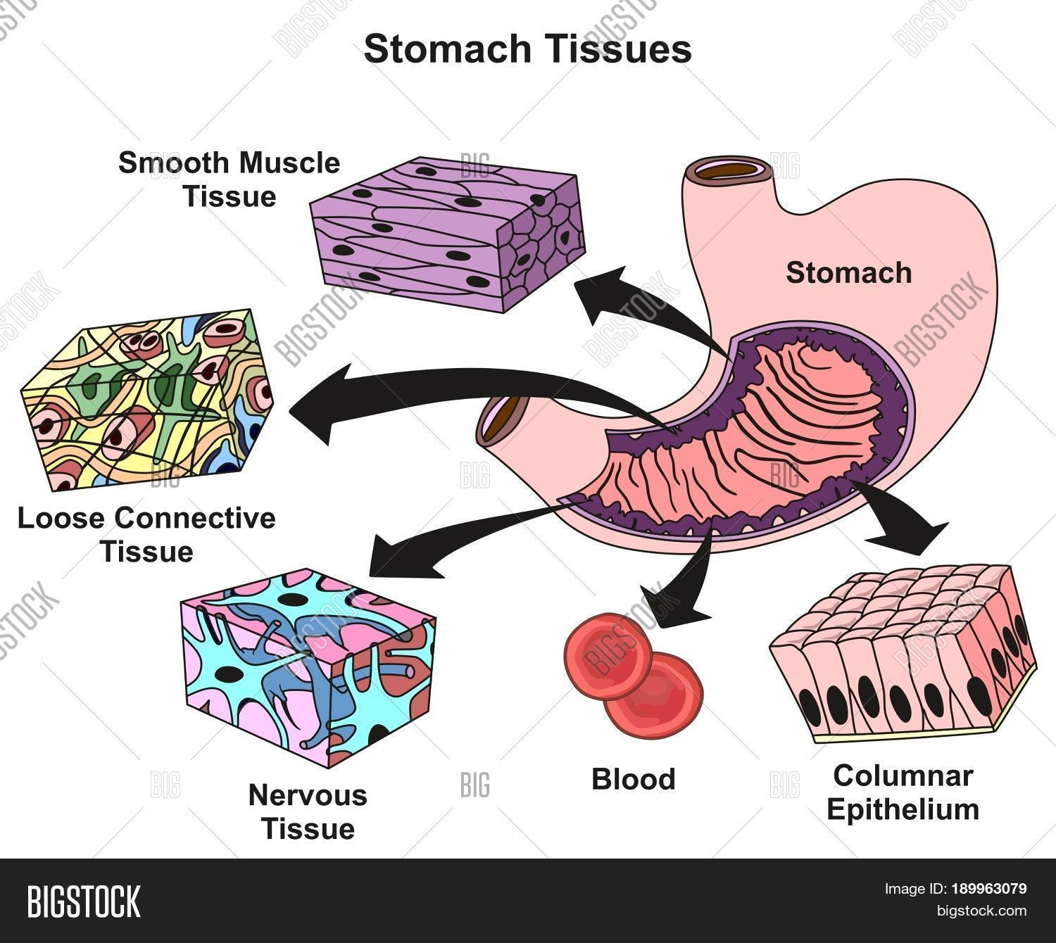 Stomach tissues types image photo free trial bigstock stomach tissues types and structure infographic diagram including smooth muscle loose connective nervous blood columnar ccuart Image collections