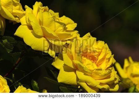 Very bright yellow flowers of roses among the green of branches and foliage.
