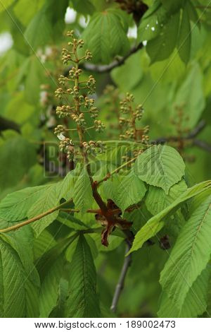 Aesculus hippocastanum/ Aesculus hippocastanum is a large deciduous tree, commonly known as horse-chestnut or conker tree.