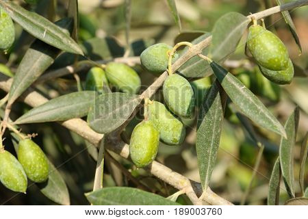 Olives tree close up in sunny day