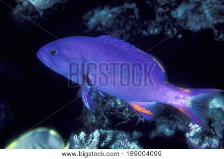 A sub-adult Chestnut Grouper, (Gracila albomarginata) on a coral reef at the Kwajalein Atoll in the Pacific