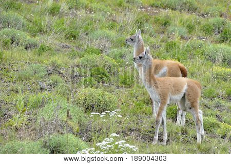 Couple of young guanacos looking front toguether