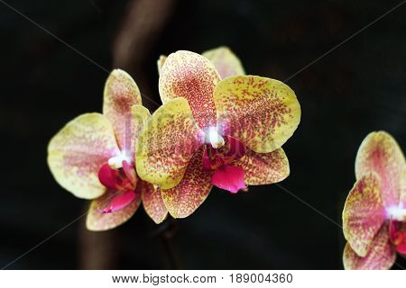 Orchid flowers on a dark background. Yellow flowers in spots. Phalaenopsis Orchid flower