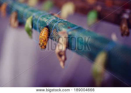A farm for butterflies, pupae and cocoons are suspended. Concept transformation of Lime Butterfly
