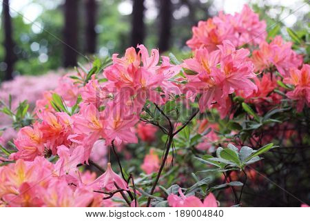 Branches of pink azalea during flowering. Pink azalea flowers with water droplets on the petals in the sun. Rodendron after rain