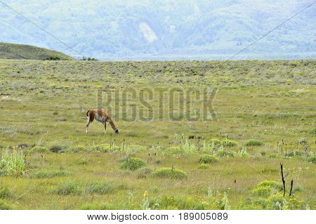 Guanaco grazing in patagonia field taked from fare