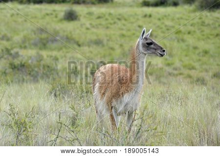 One guanaco in the green patagonia brush