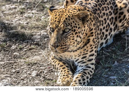 African leopard resting after feeding. Large predator in the savannah. Travel to Namibia. The concept of exotic and extreme tourism