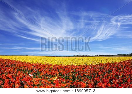 The fields of garden buttercups. Concept of rural tourism. Light cirrus clouds over the floral splendor