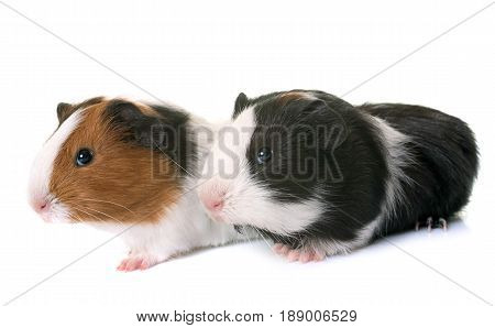 guinea pigs in front of white background