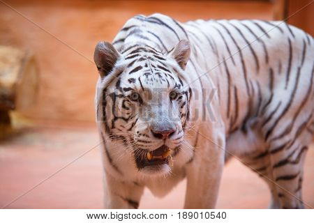 Bengali, White Tiger Close-up Shows Tongue, Aggressively , Cool And Cheerful
