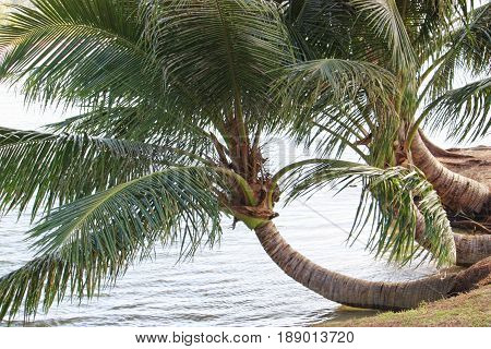 Close up of bent coconut trees by the seaside Closeup shots of bent coconut trees touching the water in the seashore