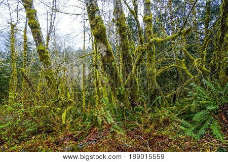 Impressive wilderness at Hoh Rain Forest with mossy trees