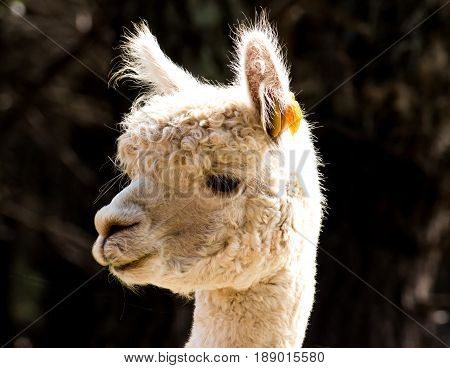 Closeup profile of white alpaca llama at rural farm