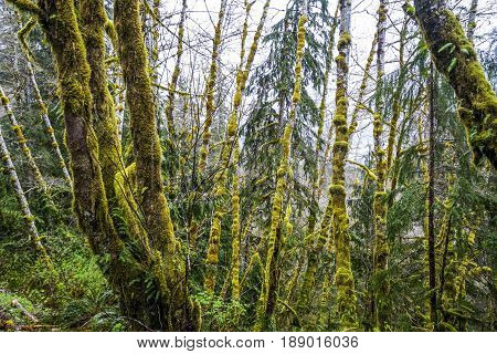 Awesome vegetation with mossy trees at Hoh Rain Forest Washington